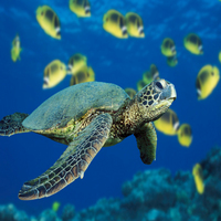 Green_sea_turtle